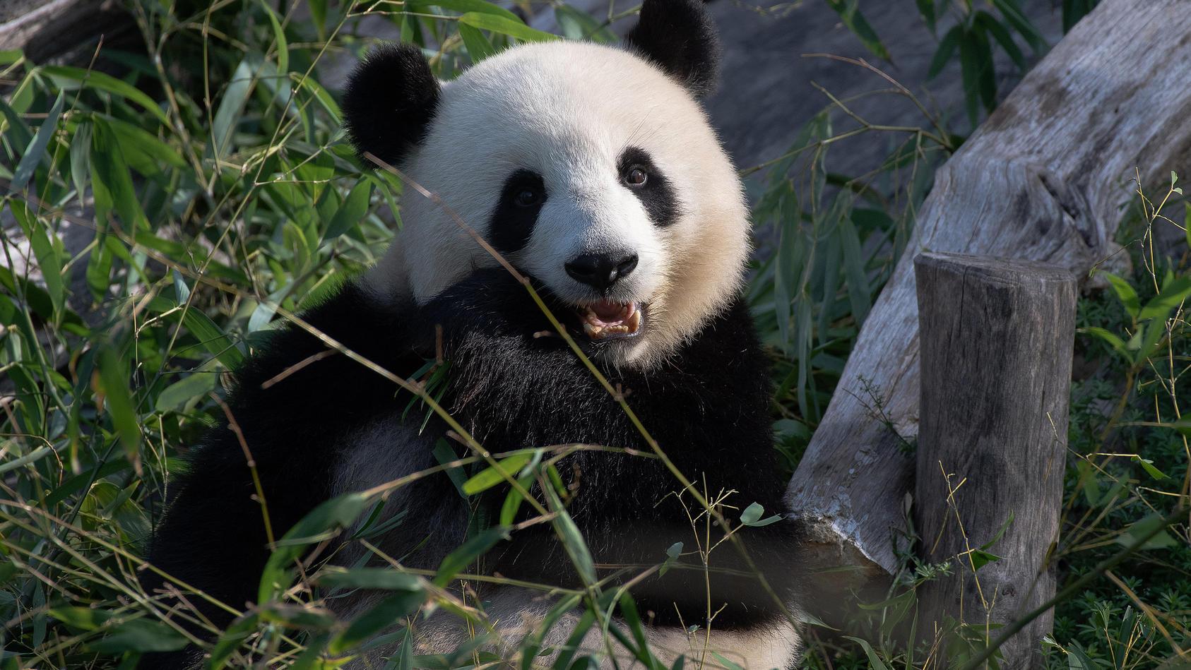 Panda-Dame Meng Meng im Berliner Zoo