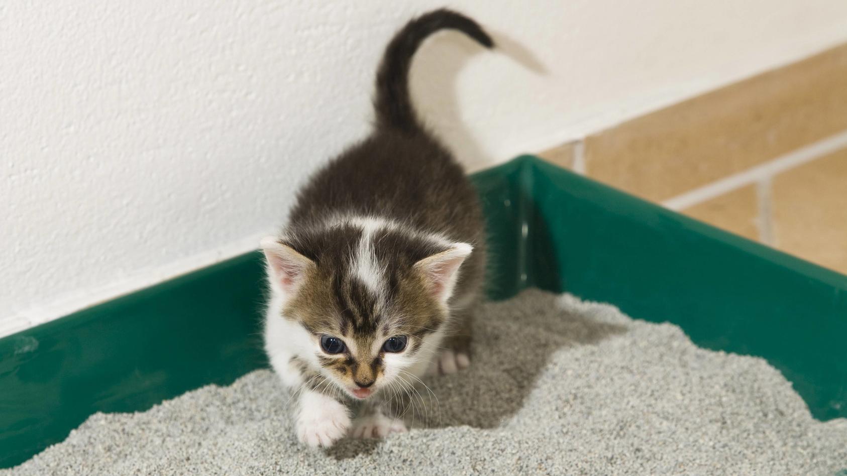 Katzen sind sensible Tiere und leiden besonders häufig unter Harnwegsinfekten.