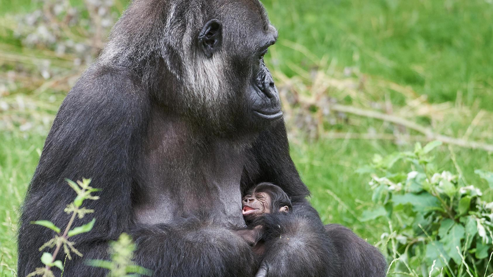 Nachwuchs im Krefelder Zoo: Es ist ein Junge!