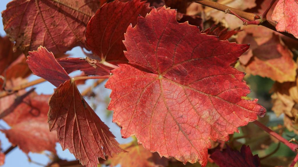 Ein Blatt in rotem Weinlaub