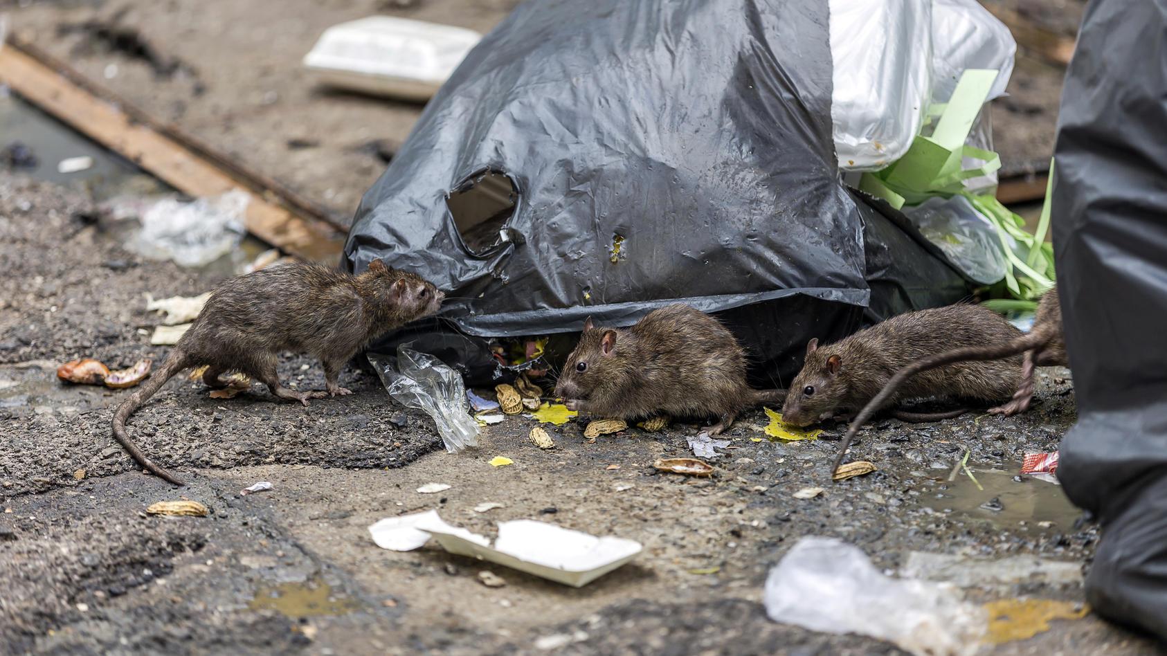 Ratten könnten in den betroffenen Regionen in den nächsten Wochen vermehrt zum Problem werden.