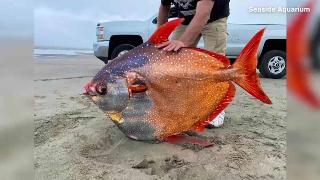 Dieser seltene Mondfisch wurde in Oregon an die Küste gespült.