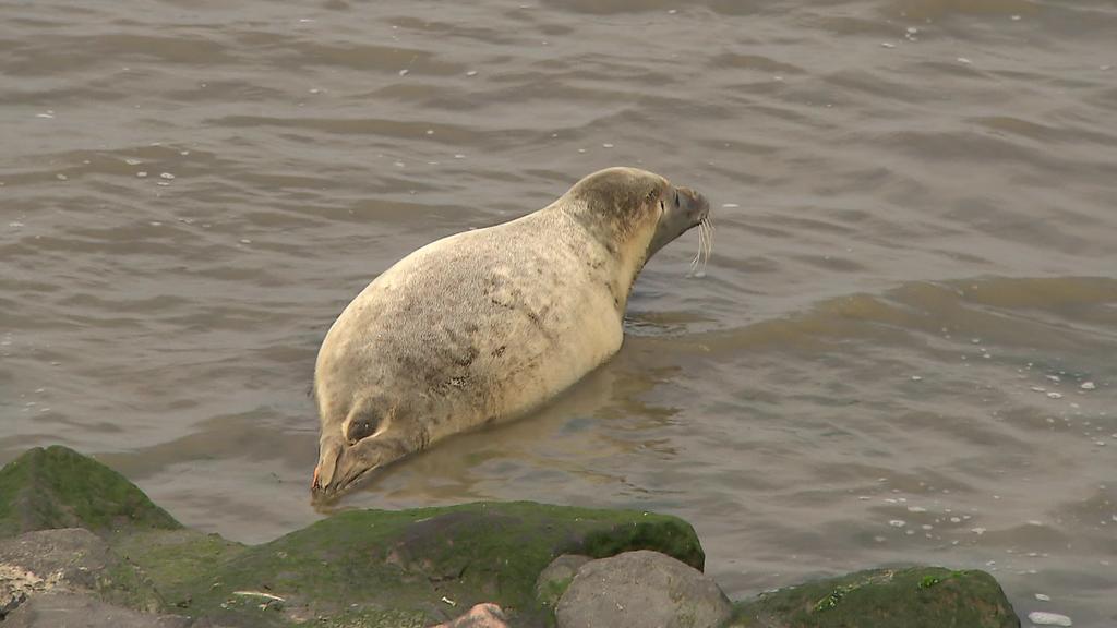 Der tierische Instinkt wird Lønne, der fast sein ganzes Leben in der Seehundstation verbracht hat, in der Nordsee helfen, Nahrung und auch Artgenossen zu finden, wie Tierärztin Ulrike Meinfelder im RTL Nord-Interview erklärte.