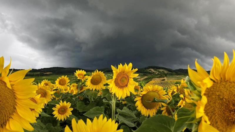 Ein Gewitter zieht über ein Sonnenblumenfeld. Foto: Hans Klaus Techt/APA/dpa