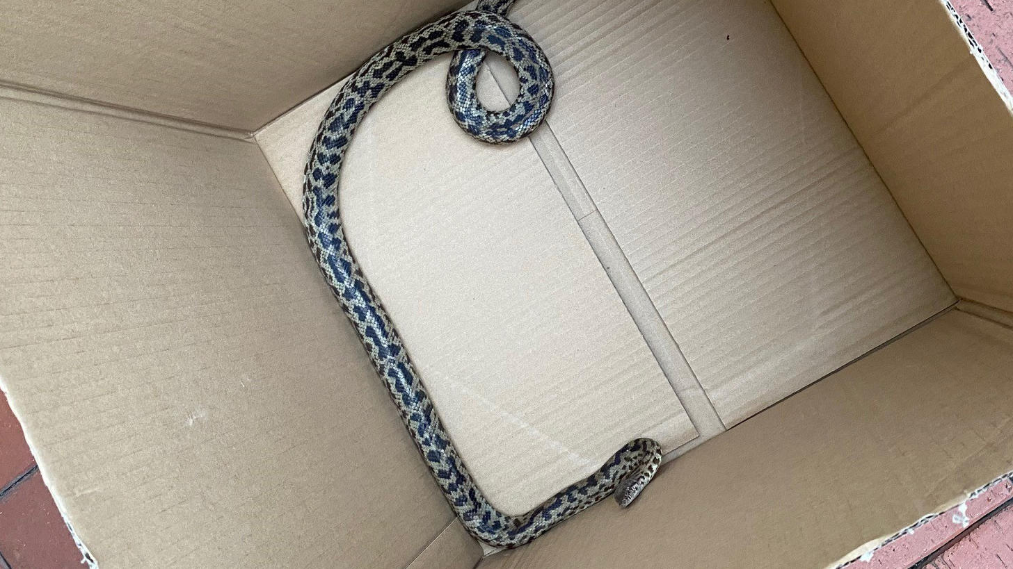 Die eingefangene Schlange im Karton.