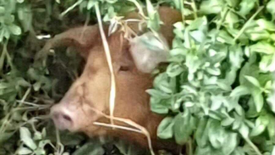 Schwein überlebte das Hochwasser in Erftstadt