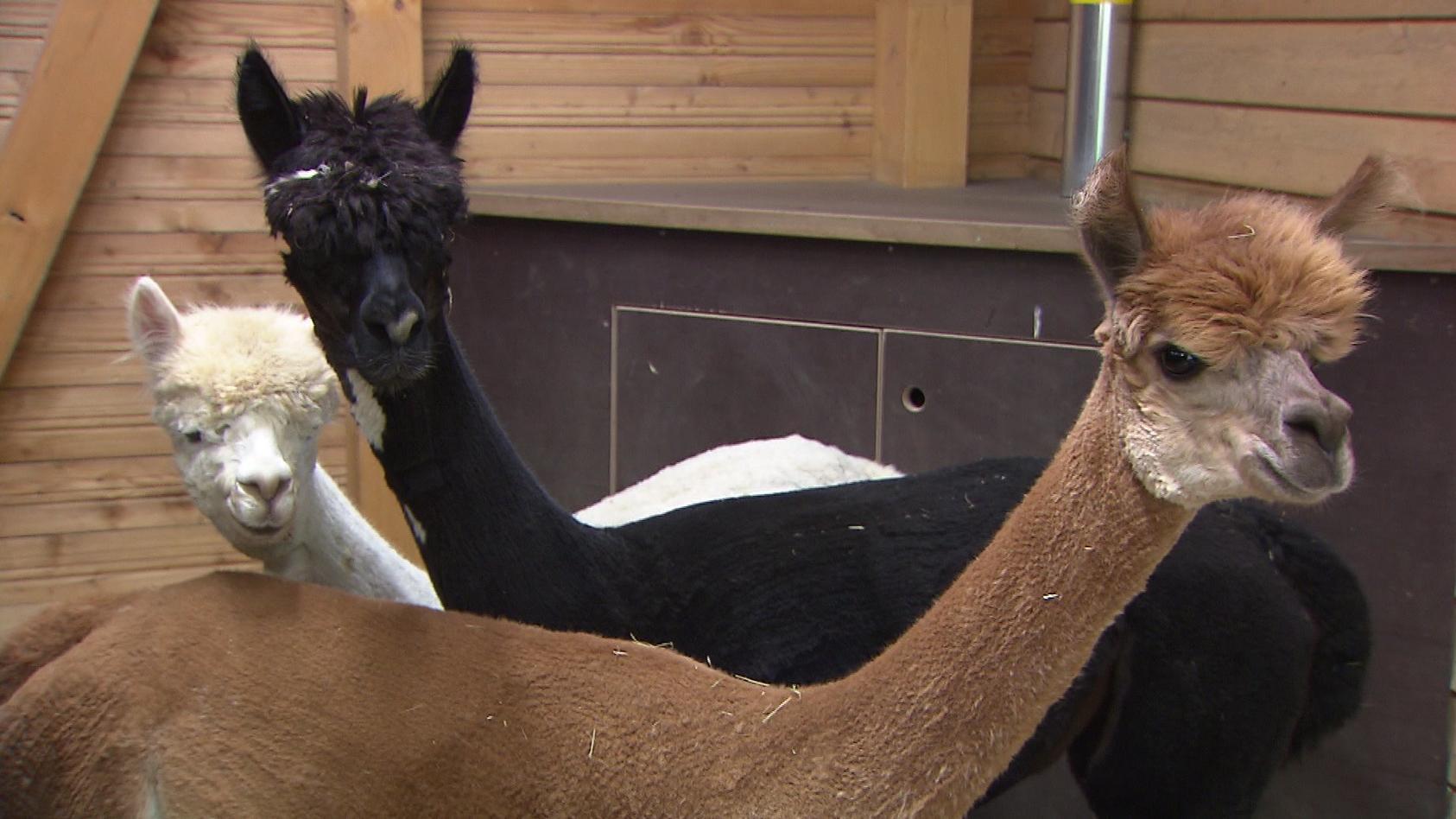 Die Alpakas sagen Corona den Kampf an