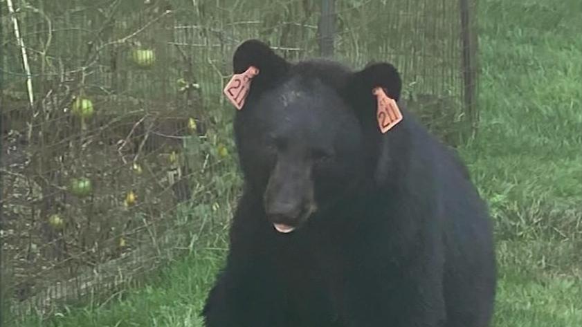 Der beliebte Schwarzbär muss nach einem Unfall eingeschläfert werden.