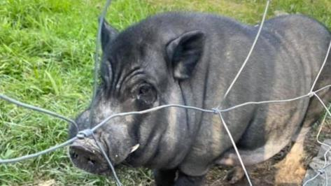 Hängebauchschwein Edgar macht die Gegend unsicher