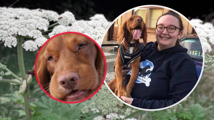 Hectors Kopf geschwollen - Hund reagiert auf Riesenbärenklau