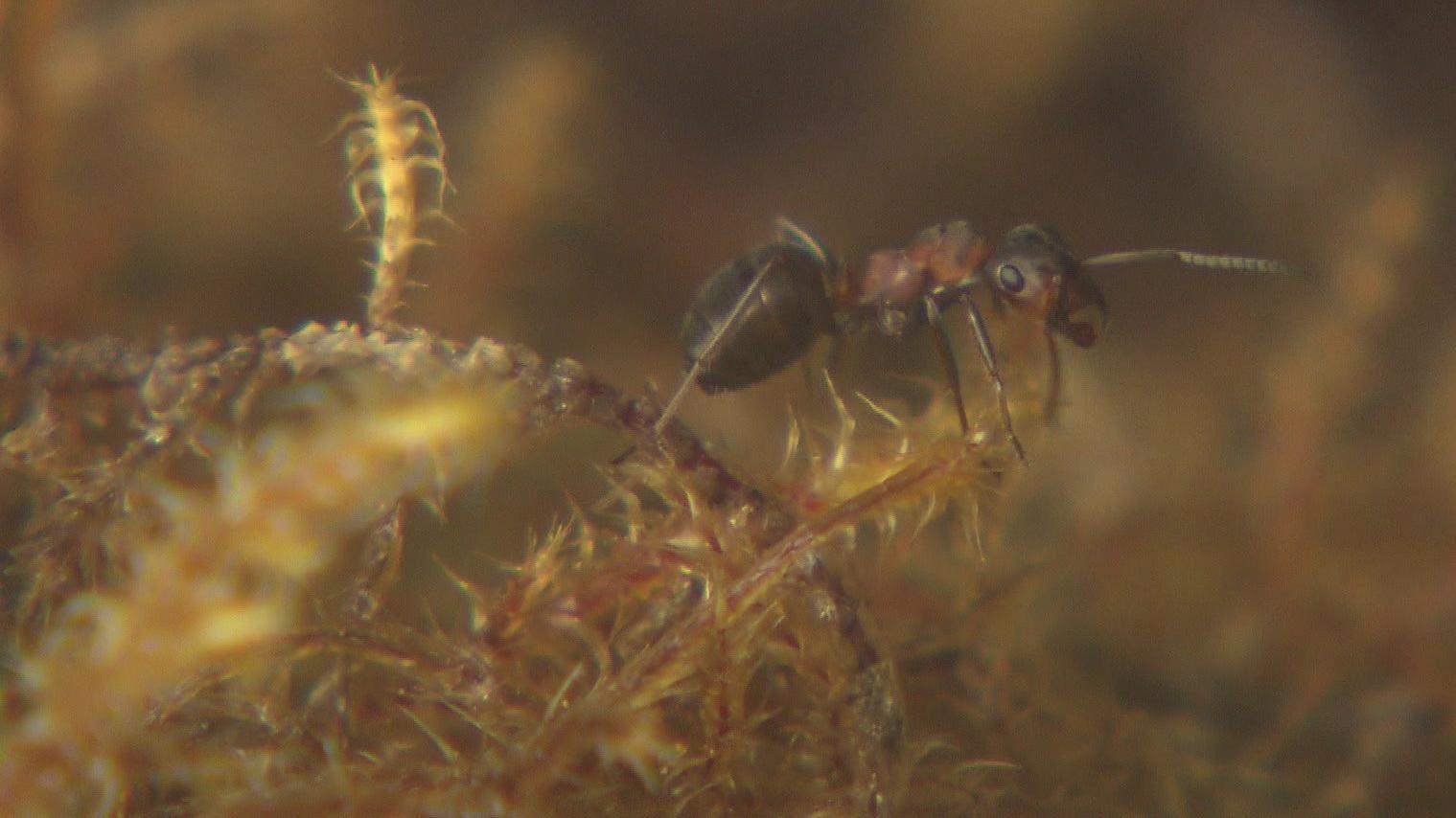 Eine kleine rote Waldameise - oder auch kahlrückige Waldameise genannt - die Formica Polyctena.