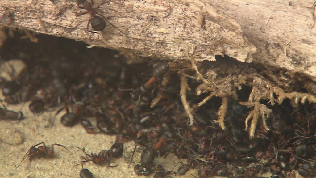 Kleine rote Waldameise - oder auch kahlrückige Waldameise genannt - die Formica Polyctena.
