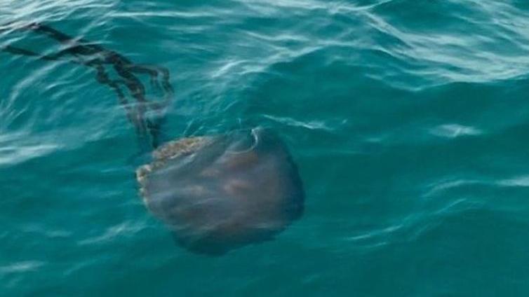 Diese Riesenqualle wurde nahe dem Strand von Es Trenc auf Mallorca gesichtet.