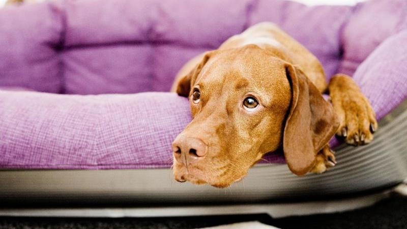 Für in der Pandemie angeschaffte Junghunde ist das Alleinsein zuhause völliges Neuland.
