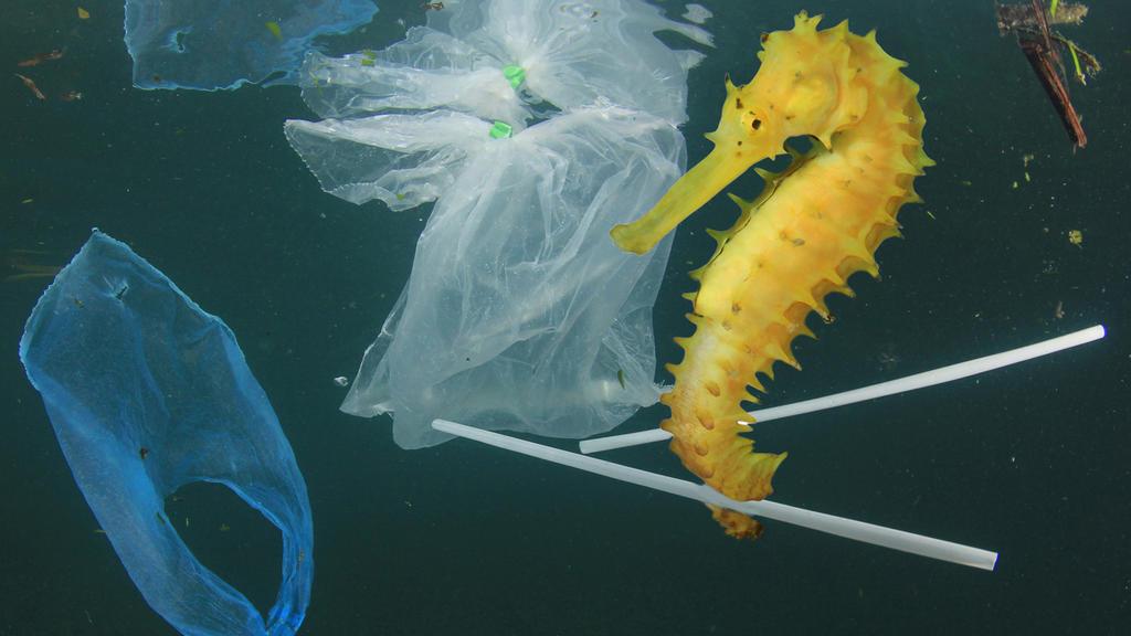 Gefahren für Seepferdchen: Plastiktüten, Wattestäbchen & Co