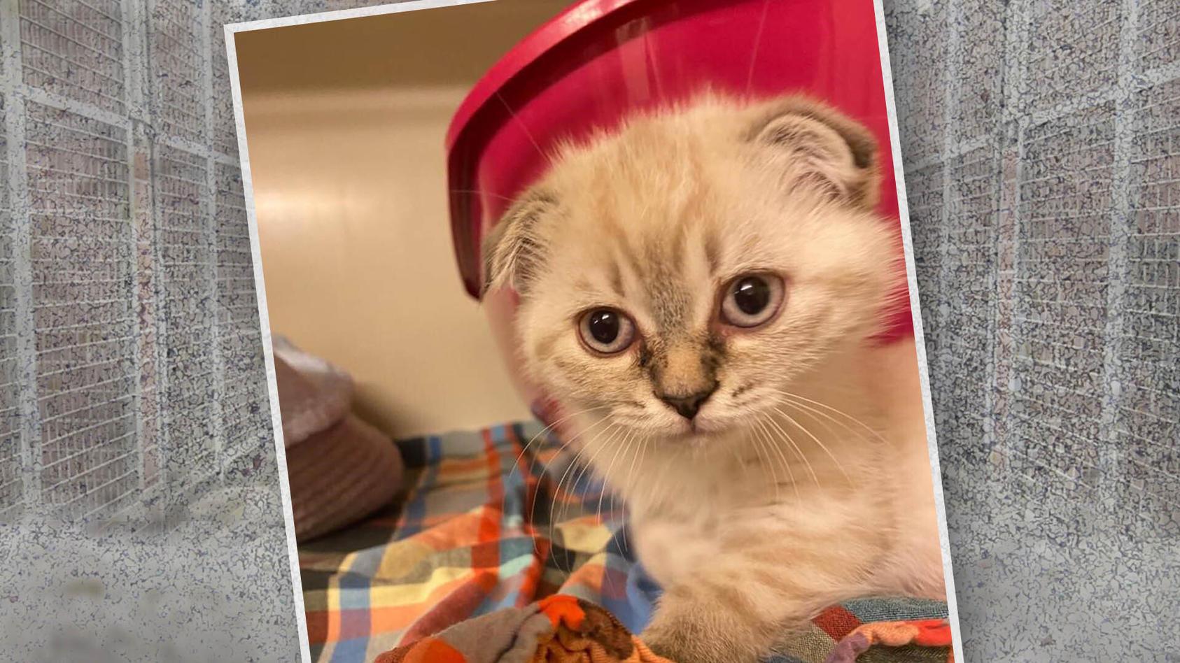 """Dieses Scottish Fold Kätzchen entpuppte sich als """"eBay-Fehlkauf"""" und wurde ins Tierheim gebracht."""