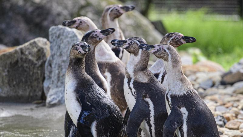 Humboldt-Pinguine im Zoo Hoyerswerda.