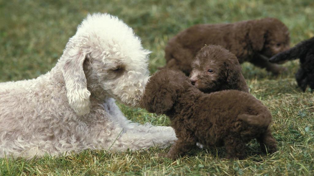 Weiße Bedlington Terrier-Mutter mit braunen Welpen