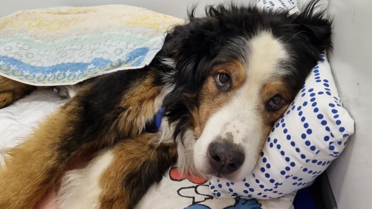 Trauriger Überlebenskampf: Berner Sennenhund Bruno wurde von Maden zerfressen