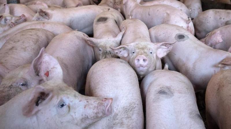 Schweine stehen in einem Stall. Foto: Sina Schuldt/dpa/Archivbild