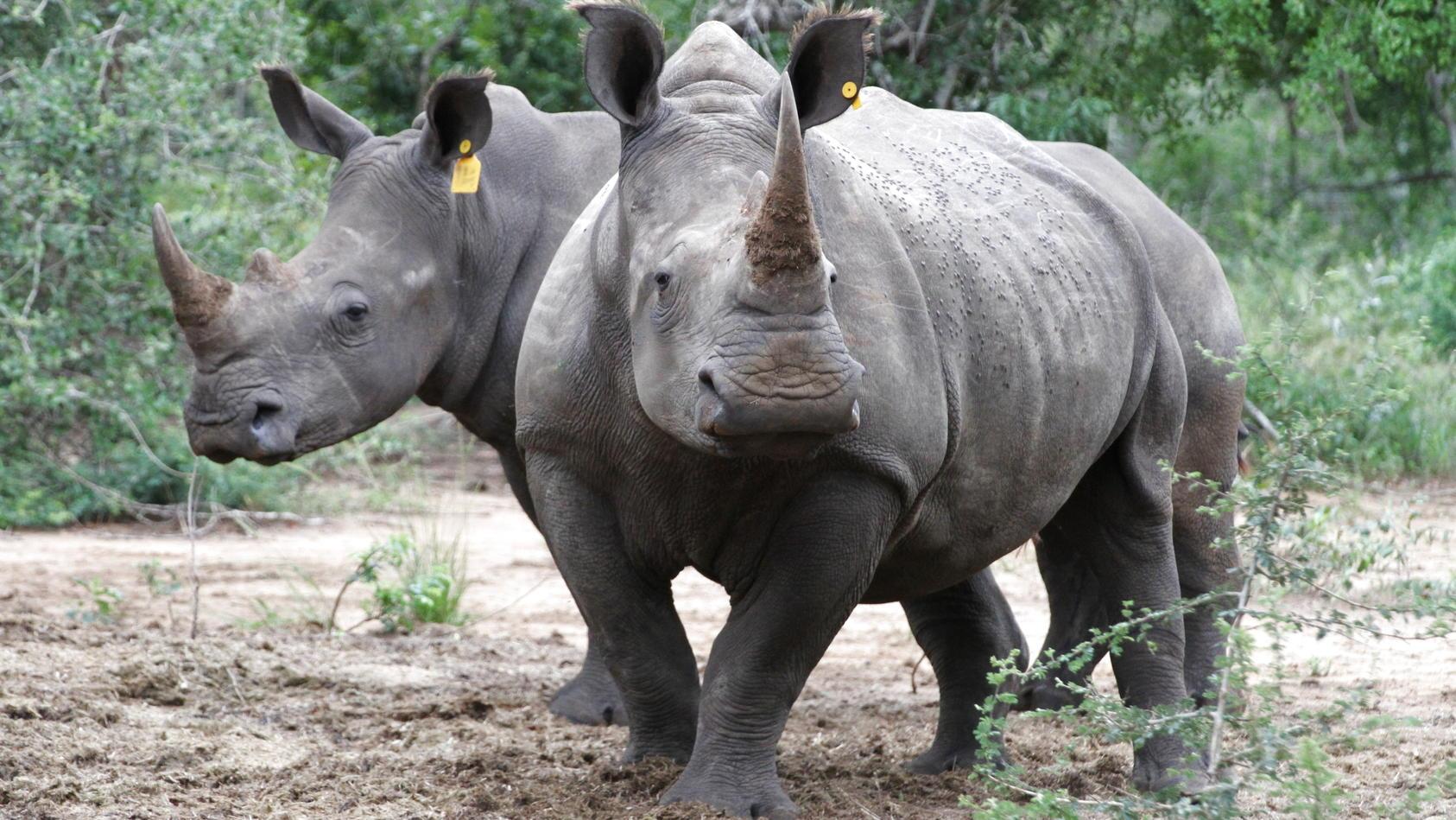 Nashörner in Südafrika - einige von ihnen haben jetzt radioaktive Hörner. (Symbolbild)