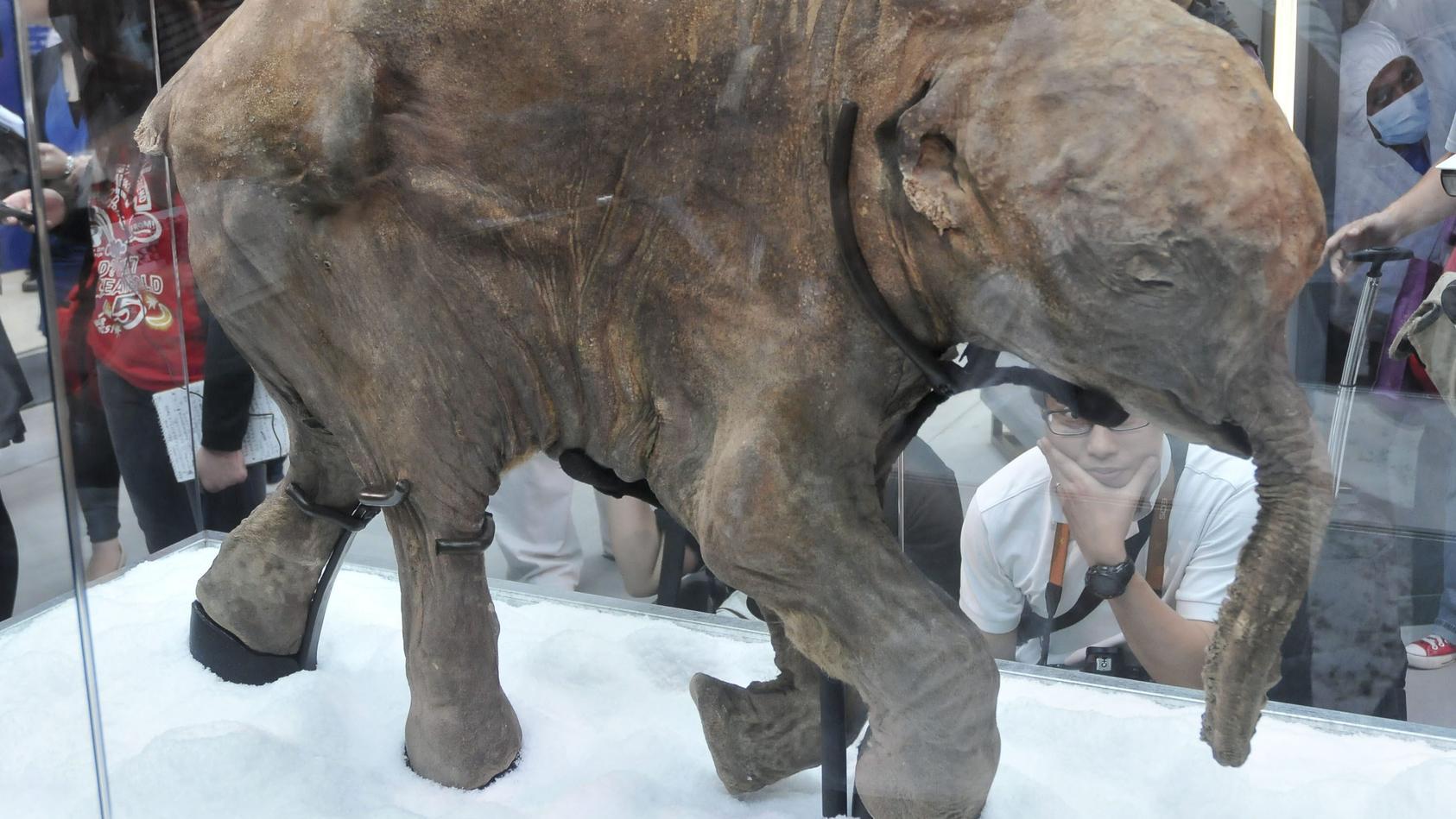 Aus einem mumifizierten Mammut wollen Forscher DNA entnehmen. Dieses Exemplar ist besonders gut erhalten.
