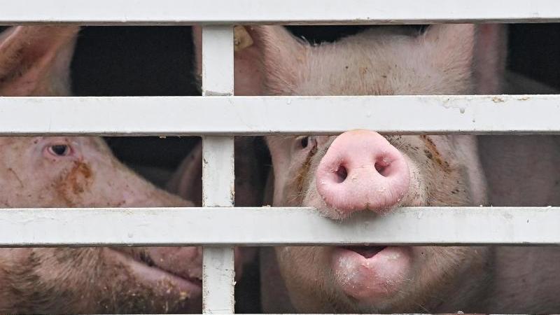 Mastschweine sind in einem Lkw für den Transport zum Schlachthof zu sehen. Foto: Patrick Pleul/dpa-Zentralbild/ZB/Symbolbild