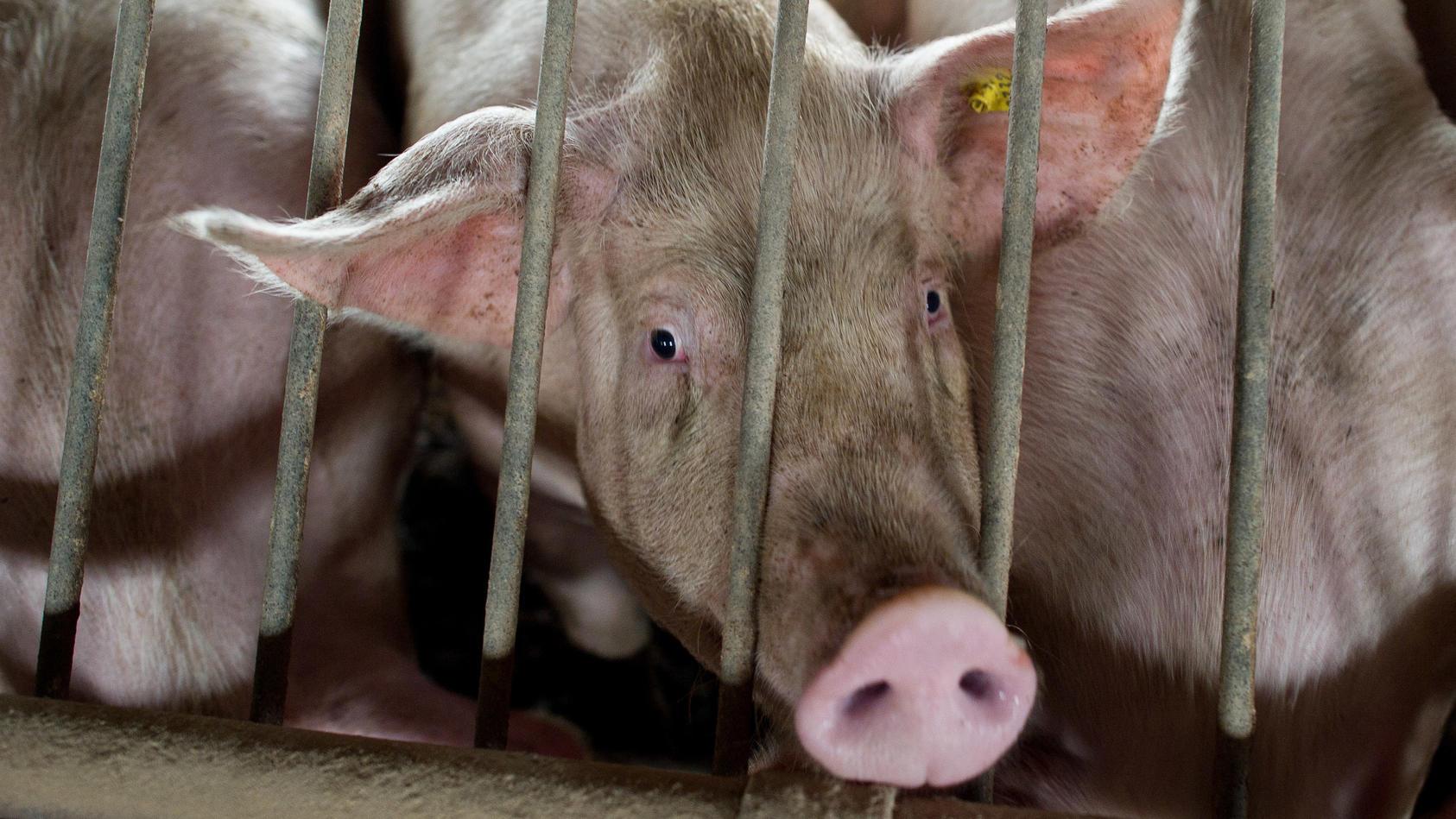 Bei Durchsuchungen in Nikolausdorf (Gemeinde Garrel) wurden insgesamt 850 tote Schweine gefunden. (Symbolbild)