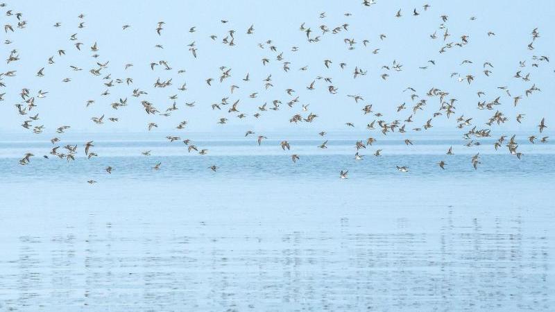 Sandregenpfeifer, Alpenstrandläufer und andere Zugvögel fliegen über das Wattenmeer der Nordseebucht Jadebusen. Foto: Sina Schuldt/dpa/Archivbild