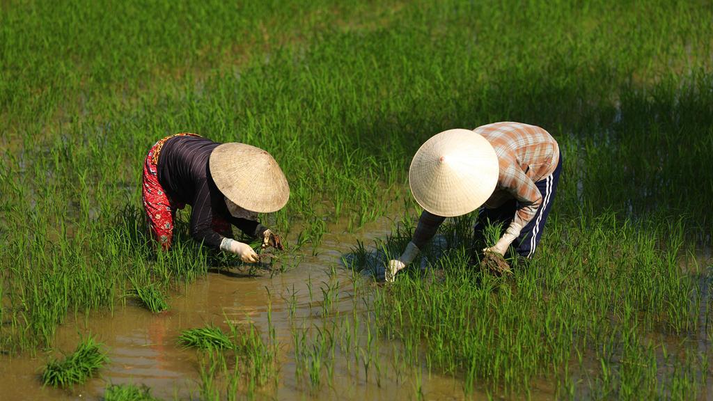 Beim Reisanbau wird klimaschädliches Methangas freigesetzt - durch Bakterien