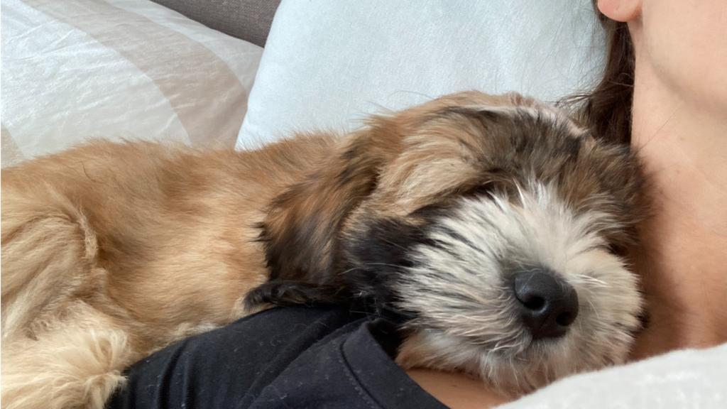 Tibet Terrier Welpe Lulu