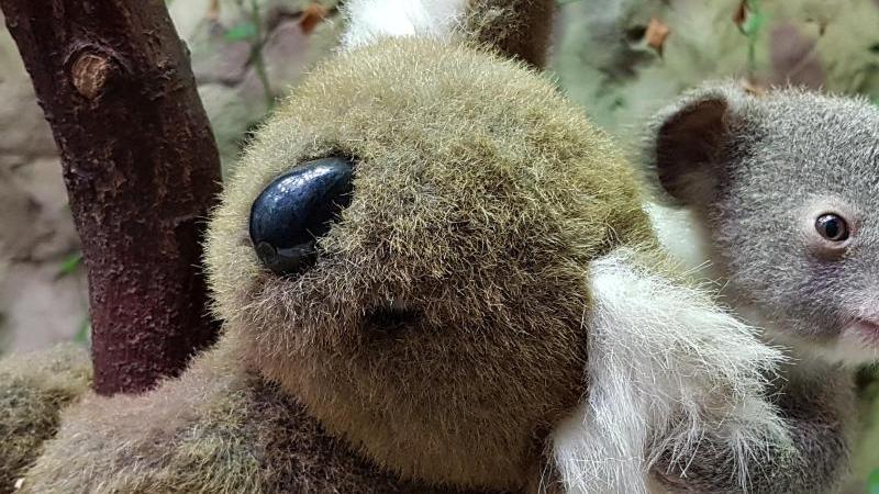 Baby-Koala Yuma hält sich an einem Stoffkoala fest. Foto: -/Zoo Duisburg/dpa/Archivbild