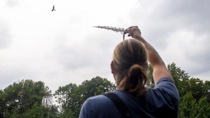 Martin Kolbe beobachtet einen Rotmilan der am Himmel fliegt und richtet dabei am ausgestreckten Arm eine Antenne auf den Vogel, um die Daten des Senders abzurufen. Foto: Klaus-Dietmar Gabbert/dpa-Zentralbild/ZB