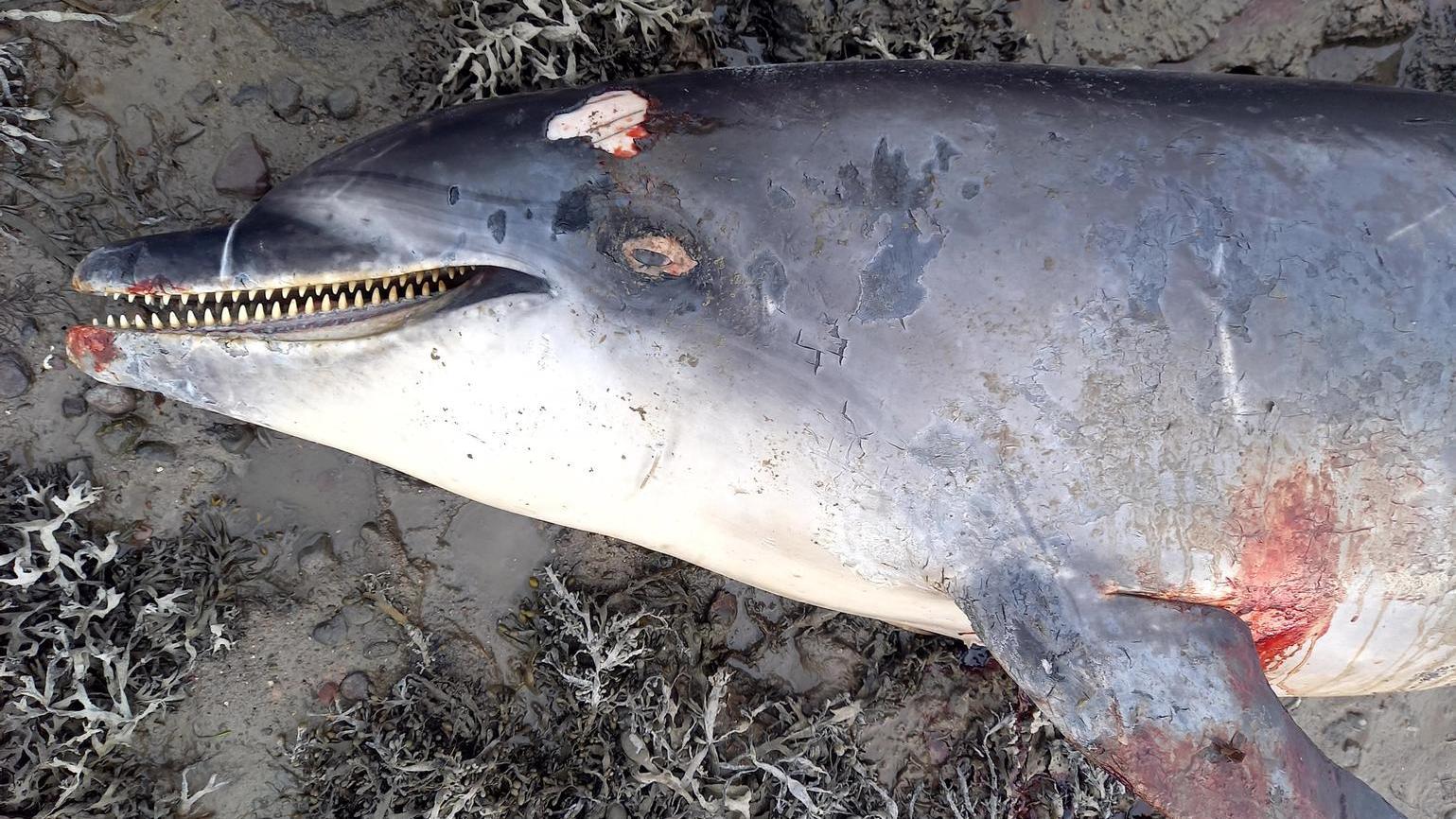 Seine Zutraulichkeit wurde Delfin Nick zum Verhängnis.