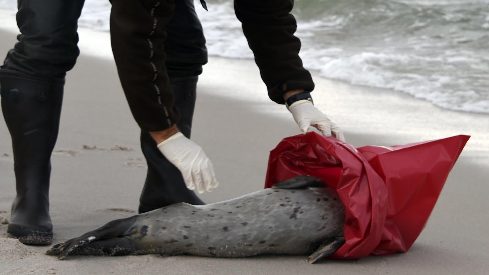 Ein toter Seehund (Symbolbild).