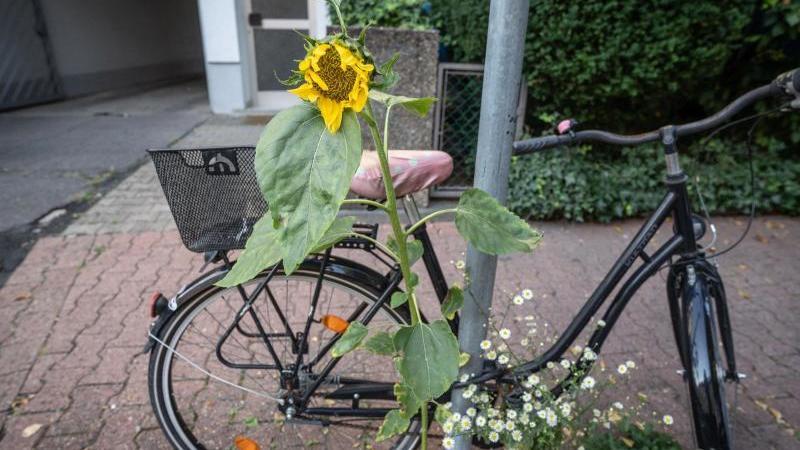 Eine Sonnenblume blüht an einem Verkehrsschild. Foto: Frank Rumpenhorst/dpa/Archivbild