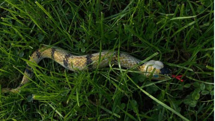 "Da liegt das ""Reptil"" im Gras"