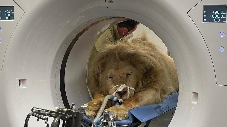 King Tonga in der Röhre: Der Löwe aus Circus Krone war krank und wurde an diesem Donnerstag operiert.