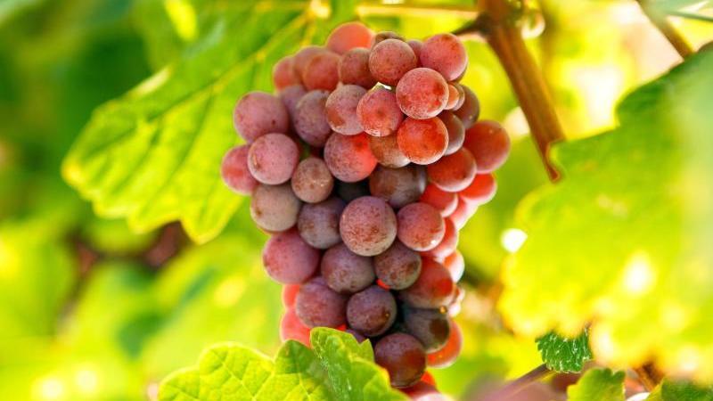 Die Sonne beleuchtet Weintrauben. Foto: ---/Ukrinform/dpa/Symbolbild