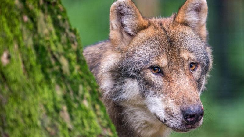 Ein Wolf schaut in einemWildpark hinter einem Baum hervor. Foto: Lino Mirgeler/dpa/Symbolbild