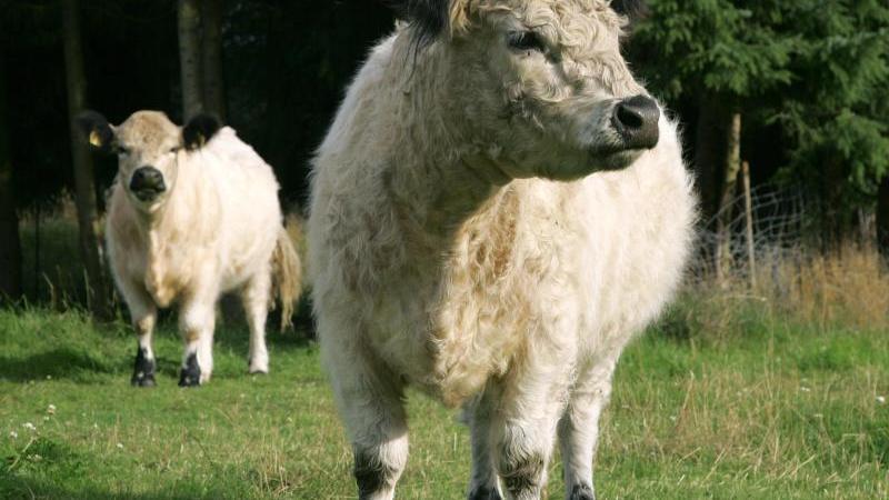 Weiße Galloway-Rinder auf einer Weide. Foto: Ingo Wagner/dpa