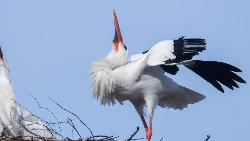 """Storch """"Fridolin"""" (l) und seine Partnerin """"Mai"""" klappern zusammen mit ihren Schnäbeln. Foto: Julian Stratenschulte/dpa/Archivbild"""