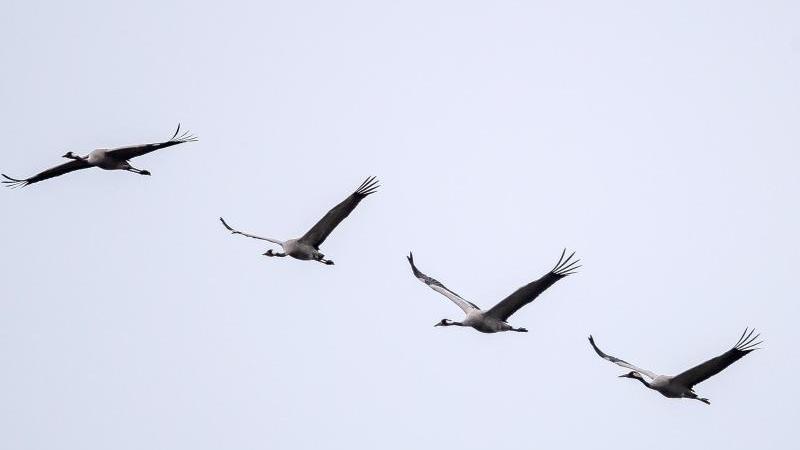 Kraniche fliegen über ein Feld. Foto: Sina Schuldt/dpa/Archivbild