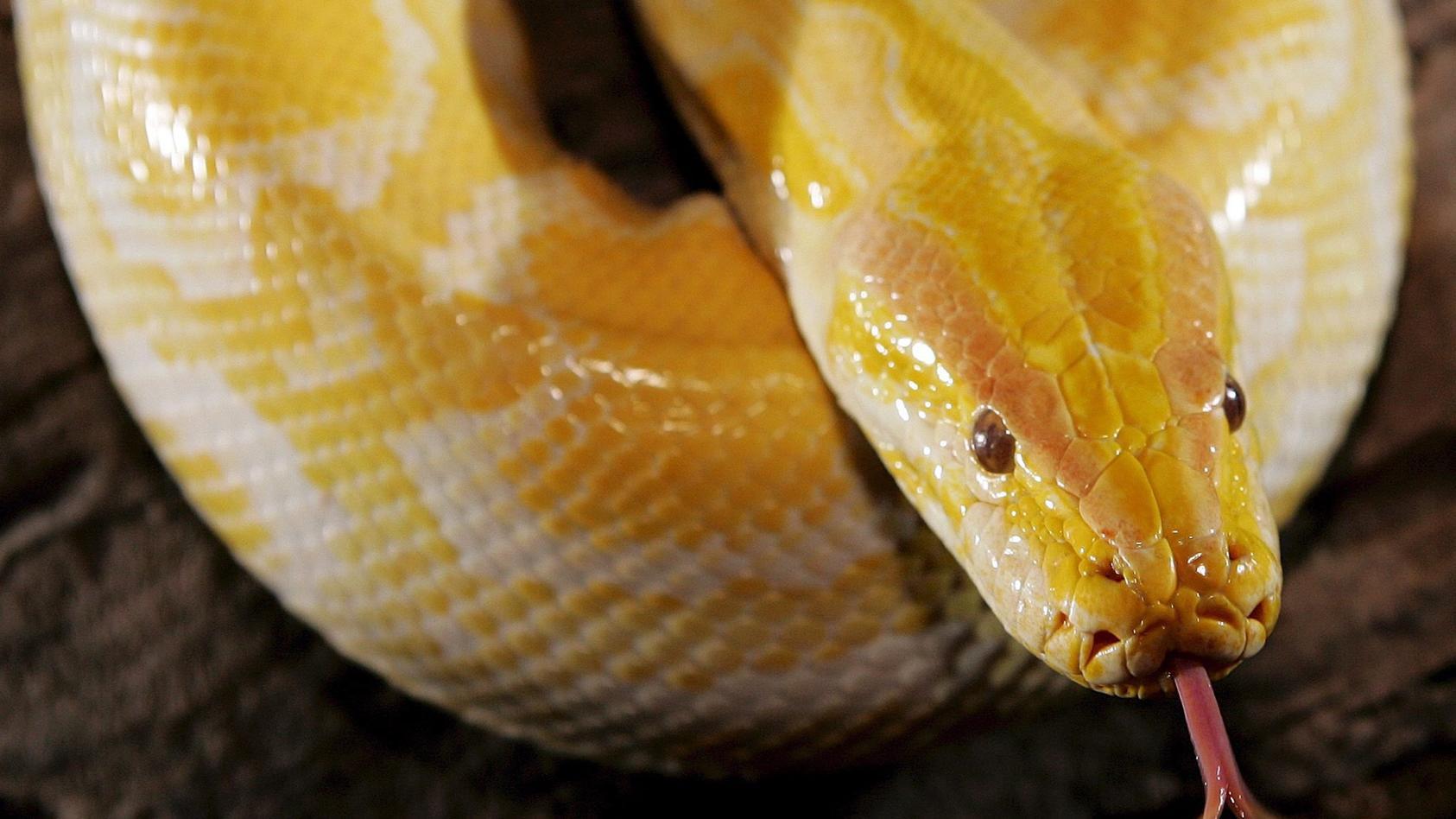 eine-python-schleicht-durch-dem-garten-ihres-besitzers-foto-markus-scholzdpasymbolbild