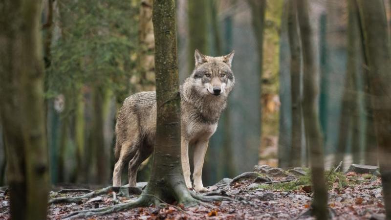 ein-wolf-steht-in-einem-gehege-foto-klaus-dietmar-gabbertzbdpasymbolbild