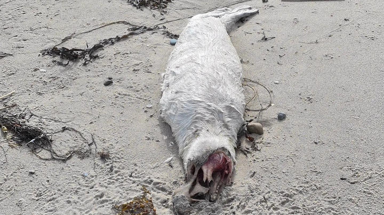 an-einem-strand-in-wales-wurden-ungewohnlich-viele-tote-seehundbays-gefunden