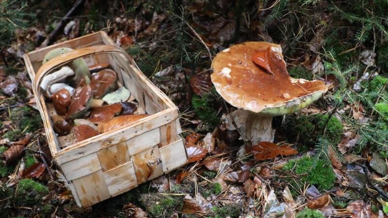 ein-korb-mit-pilzen-steht-auf-dem-waldboden-foto-bodo-schackowzbdpasymbolbild