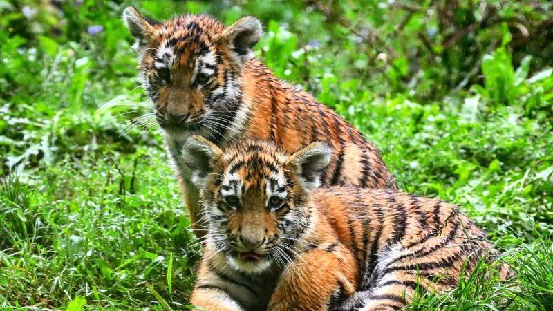 die-mini-tiger-malinka-oben-und-kasimir-unten-sitzen-im-gras-ihrer-zoo-anlage-foto-r-jodgalweitzoo-duisburgdpa
