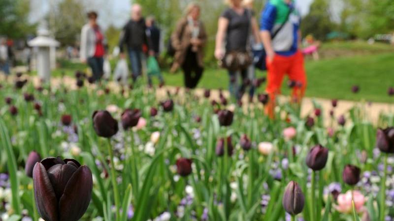 dunkel-gefarbte-tulpen-bluhen-im-park-der-garten-von-bad-zwischenahn-kreis-ammerland-foto-picture-alliance-dpaarchivbild