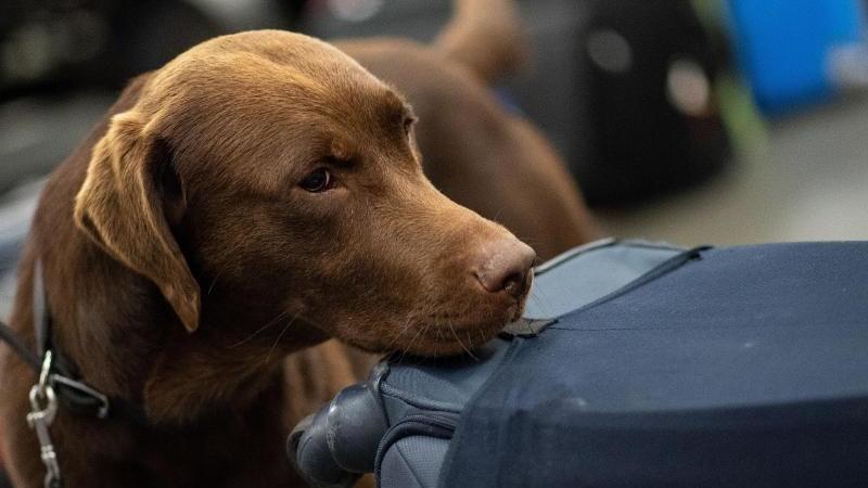 ein-drogenspurhund-schnuffelt-wahrend-einer-gepackkontrolle-des-zolls-an-koffern-foto-marius-beckerdpasymbolbild